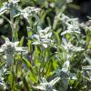 Основные виды эдельвейса для вашего сада