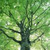 Декоративные деревья с ажурной кроной: обзор