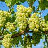 Сорт винограда «Восторг»: характеристики и описание сорта