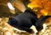 Золотая рыбка - Телескоп