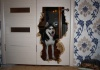 Собаки породы сибирский хаски