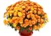 Комнатные цветы Хризантемы