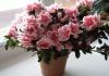 """Комнатный цветок """"Азалия"""""""