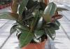Фикус каучуконосный - Ficus elastica