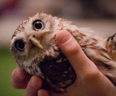 Почему не стоит заводить дома сову