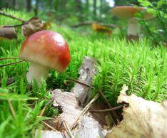 Как приготовить грибы сыроежки