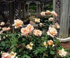 Когда и как укрывать розы на зиму в Сибири