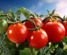 Как ускорить созревание помидоров на огороде и дома
