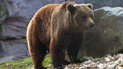 Как научиться рисовать медведя