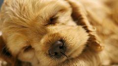 Как выбрать щенка спаниеля