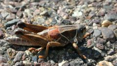 How to draw a mole cricket