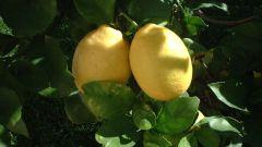 Как сделать прививку лимона