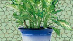 How to plant dieffenbachia