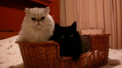 Как подружить кошку и котенка