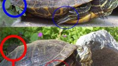 How to distinguish gender slider turtles