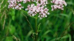 How to take tincture of Valerian
