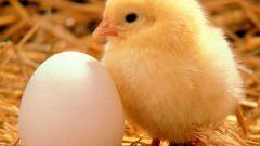 Как вырастить цыплят в инкубаторе