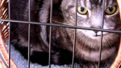 Как делать уколы внутримышечно коту