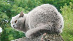 Как отличить британскую кошку