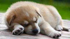 Как приучить щенка ночью спать