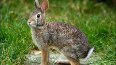 Как выгуливать кроликов