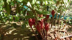 Как употреблять корень имбиря