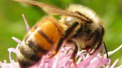 Как узнать про пчёл