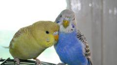 Как определить возраст и пол попугаев