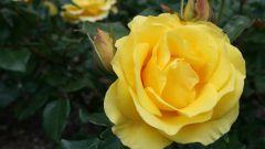 Как вырастить розы из семян