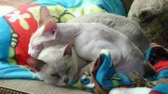 Как примирить двух кошек