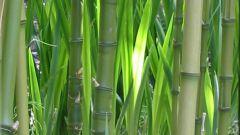 Как согнуть бамбук