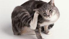 Как вывести домашних блох