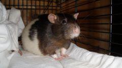 Как узнать, что крыса беременна
