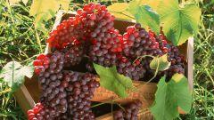 Как высаживать виноград