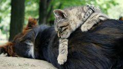 Как подружить кота и собаку