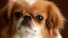 How to raise a Pekingese