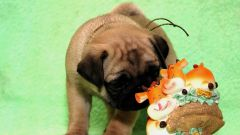 How to feed a pug puppy