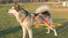 How to put a harness on a dog