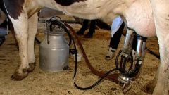 Как подоить корову