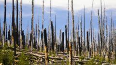 Почему погибает лес