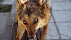 Как определить бешенство у собаки