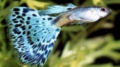 Как узнать пол рыбы