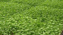 Как выращивать петрушку в теплице