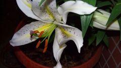 Как выращивать лилии в доме