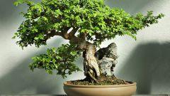 Как вырастить бонсаи из фикуса