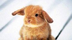 Как определить породу декоративного кролика