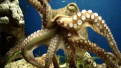 How to cut octopus