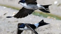 Why swallows fly low