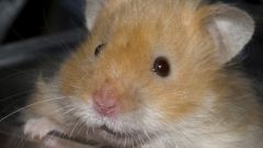 Why hamster squeaks