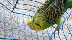 Как лечить волнистого попугая от простуды